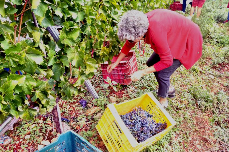 Recogida de uvas