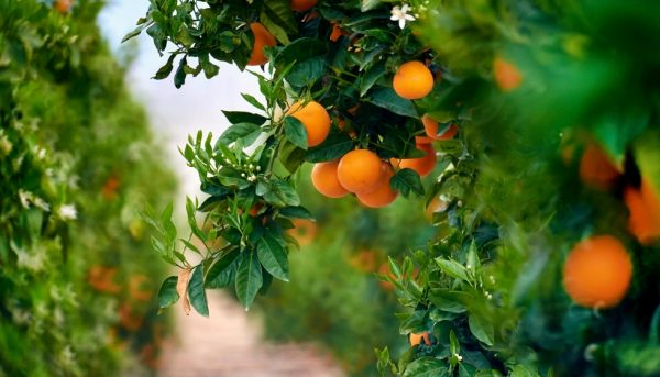 mandarina-calig